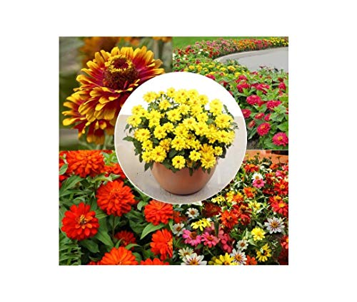 - Zinnia Seed Garden Collection - 5 Packets of 25 Seeds Each - Zahara Double Yellow, Zahara Mix, Zahara Double Fire, Magellan Mix, Zowie Yellow Flame - Flower Seeds Package - Harris Seeds