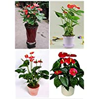 Hot anthurium seeds, cheap anthurium seeds, Bonsai balcony flower, anthurium potted flower seeds - 20 pcs