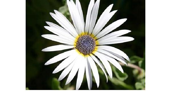 40 LONG LASTING ANNUAL ARTOTIS WHITE AFRICAN DAISY FLOWER SEEDS