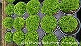 "Pin-cushion Spikemoss -Selaginella kraussiana 'Brownii' - 4"" Pot - Fairy Garde"