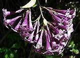 CROSO Seeds PACAKGE ONLY NOT Plants: Cestrum Elegans Purple, Seeds! Rooty Cuttings !