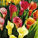 Mixed Calla Lilies Value Pack (5 Bulbs Per Package) - Bright Colors Red, Orange, Yellow, Pink