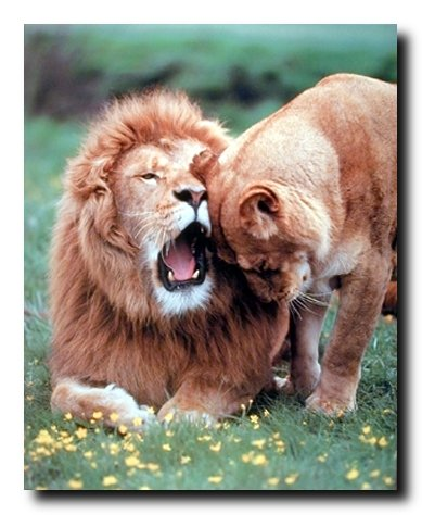(Lion with Cub Wall Decor Picture Wild Animal Art Print Poster (16x20) )