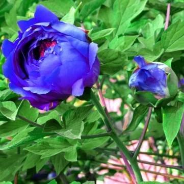 Bheema 20 Graines Bleu Pivoine Paeonia fleurs en pot Accueil Jardin des Plantes