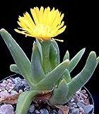 glottiphyllum regium, rare living stones ice plant exotic mesembs seed 20 SEEDS