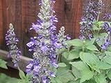 P029S. Salvia Mystic Spires Blue - 30 Seeds