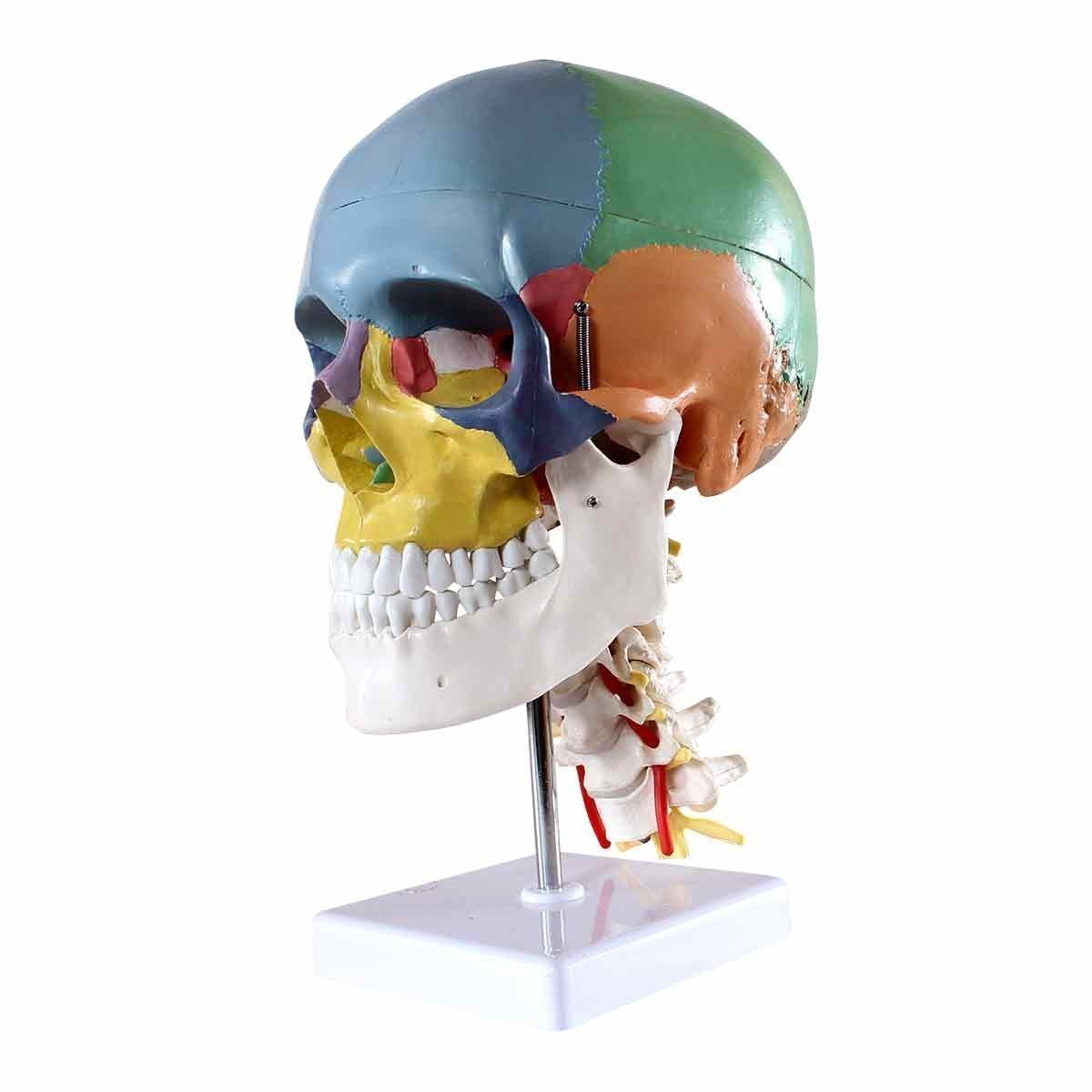 Dental Power Product Didactic Human Skull Model, with 7 Cervical Vertebrae, Nerve and Artery, on Stand