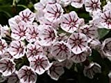 KALMIA LATIFOLIA 'PEPPERMINT' - MOUNTAIN LAUREL - STARTER PLANT- APPROX 2-3 INCH
