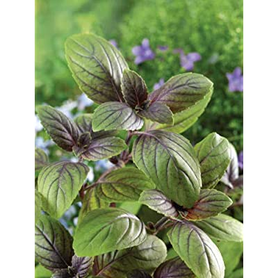 Russian Basil Taste of Cinnamon, Basil Seeds from Russia : Garden & Outdoor