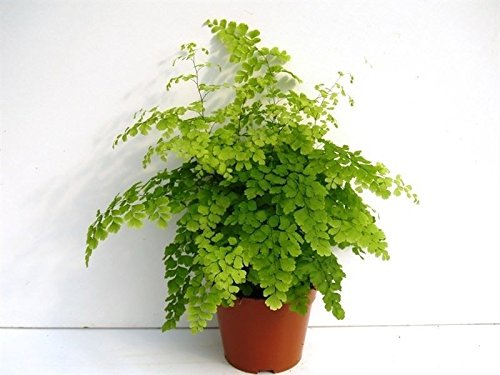 Adiantum var. 'Fragrans' fern house plant in a 12cm pot. Maidenhair fern Perfect Plants