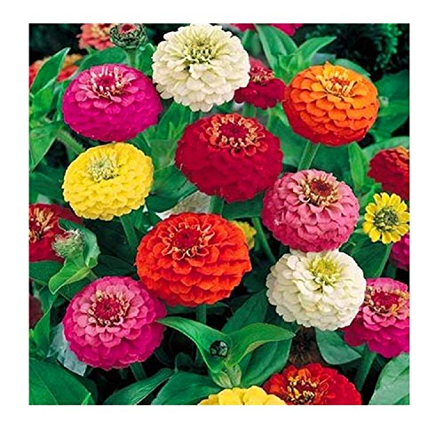 32 Zinnia younth Common elegans Salsiando Colorful Flowers Mix Seeds #154