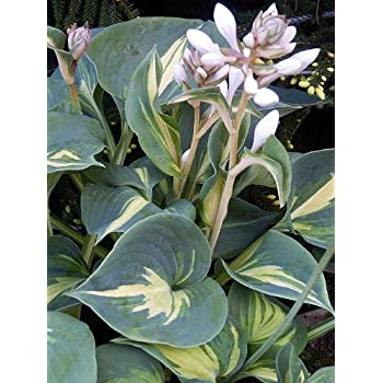 Amazoncom Dream Queen Hosta Thick Blue Leaves White Flowers