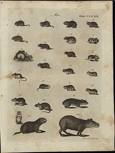 mus-genus-small-mammals-capybara-mice-rodents-vermin-1798-antique-engraved-print