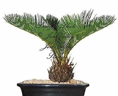 Sago Palm Tree 3 Seeds Cycas Revoluta Tropical Fossil Cycad Bonsai Or Standard