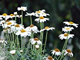 Home Comforts Laminated Poster Argyranthemum Frutescens Tree Daisy Marguerite Poster Print 24 x 36