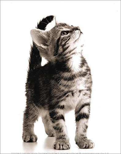 Little Curious Kitten Cat Animal Photography Poster Print 11 by 14