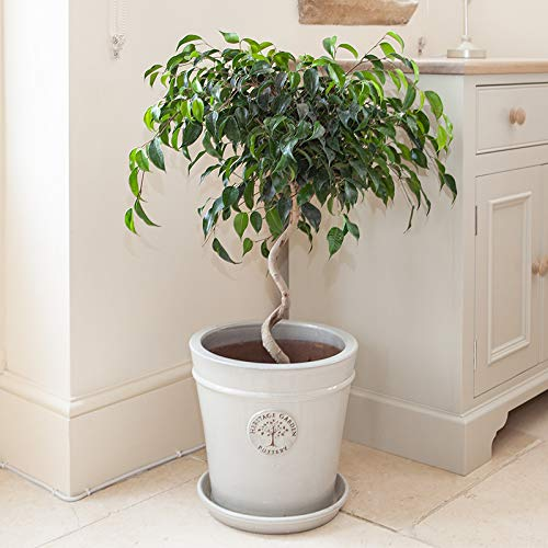 Ficus benjamina 'Danielle' (Weaping Fig) houseplant 80cm Tall with Spiral stem YouGarden