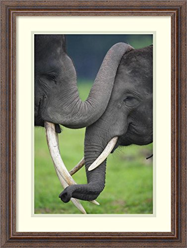 Framed Art Print 'Asian Elephant pair playing, Way Kambas National Park, Sumatra, Indonesia' by Cyril Ruoso by Amanti Art