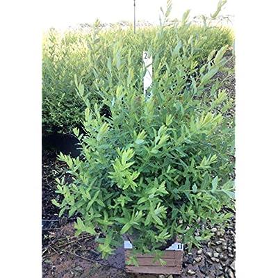 Premier Plant Solutions 10273 Hakuro Nishiki Dappled Japanese Willow (Salix), 3 Gallon, White/Green : Garden & Outdoor