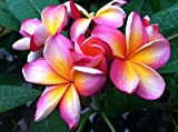 Rooted Plumeria Plant ~ Neon Lights ~