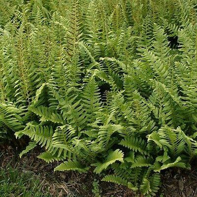 Christmas Fern 20 rhizomes (Polystichum Acrostichoides) : Garden & Outdoor