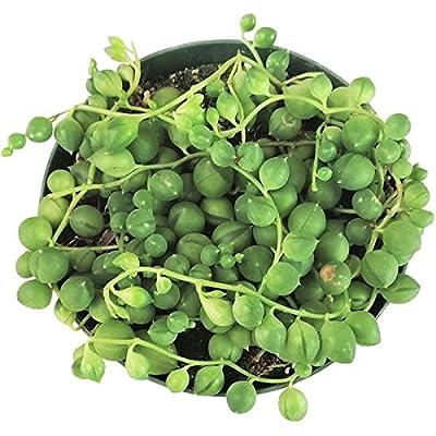 String of Pearls Senecio Succulents (4'' + Clay Pot) : Garden & Outdoor