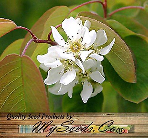 1/4 oz (450) SASKATOON SERVICEBERRY Seeds - Amelanchier alnifolia Seeds - Saskatoon Berry - fruit can be eaten raw or cooked - HARDY To Zone 6 - By MySeeds.Co (0450 Seeds - 1/4 oz)
