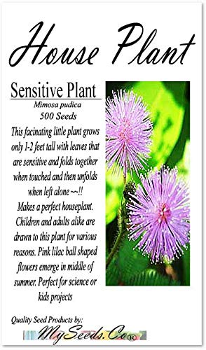 (BIG PACK - MIMOSA PUDICA SENSITIVE PLANT Flower Seeds (500) - Shy Plant or Sleep Plant. Great For Kids Science Project HOUSE PLANT - Non-GMO Flower Seeds By MySeeds.Co (BIG PACK Mimosa Pudica))