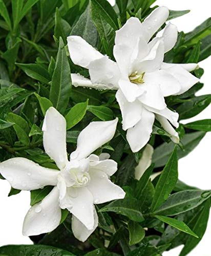 Frost Proof Gardenia Plants ( Cape Jasmine )( 1 Gallon ) (Gardenia Jasmine Cape)