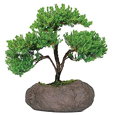 Brussel's Bonsai Live Green Mound Juniper Outdoor Bonsai Tree in Rock Pot - 5 Years Old; 6