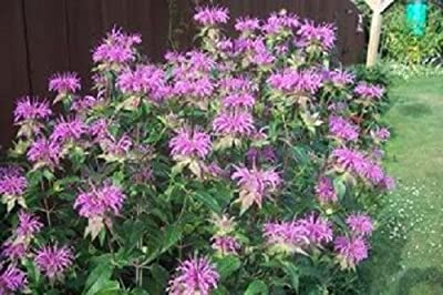 2000 BEE BALM LEMON MINT MONARDA Flower Seeds