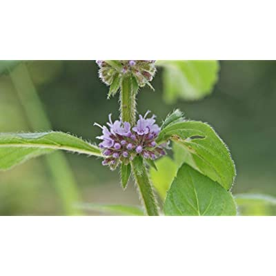 500 Seeds of Mentha arvensis, Corn Mint, Field Mint, Wild Mint : Garden & Outdoor