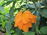 50 Seeds Crossandra Infundibuliformis, Firecracker Plant, Firecracker Flower, Kanakambaram Seeds