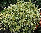 1 Elegant Persicaria virginiana (Painter's Palette) - Live Bare Root Plant