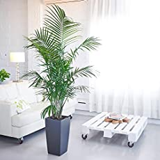 Why The Majesty Palm Is A BAD House Plant Or Indoor Palm Indoor Houseplants Tall Palms Html on