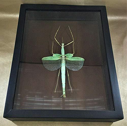 Entomology Preserved Huge Winged Stick Bug Framed Specimen Framed (Green Bug That Looks Like A Praying Mantis)