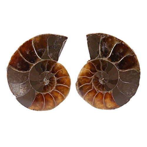 2pcs Shell Fossil Specimen Ammonite Madagascar Extinct Natural Stones and Minerals for Basic Biological Science Education (2cm) (Shell Specimen)