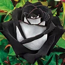 20+ Osiria BLACK/White Rose Bush Seeds Exotic & Beautiful