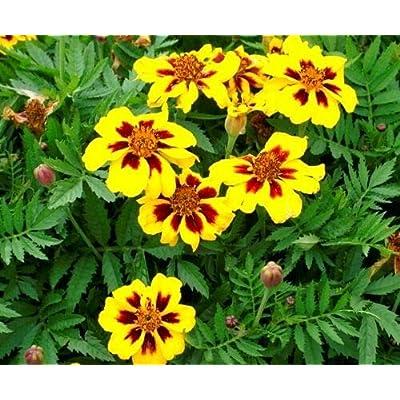 Lumos80 French Marigold Dainty Marietta (Dwarf) 75 Fresh Seeds Free USA Shipping : Garden & Outdoor