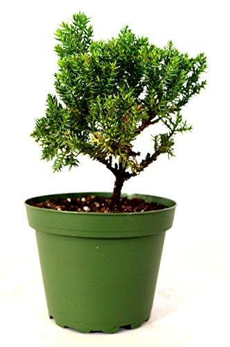 9GreenBox - Juniper Bonsai Starter - 4'' Pot (Bonsai Fertilizer Juniper)