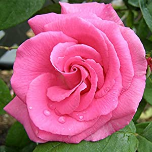 Own-Root One Gallon Zephirine Drouhin Climbing Rose by Heirloom Roses