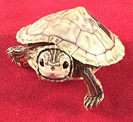 Amazon com: Real Taxidermy Baby Turtles Reptile Turtle