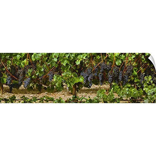 (Clusters of ripe Merlot Grapes on The Vine, Ready for Harvest Wall Peel Art Print, 60