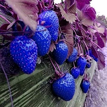 50 Pieces Large Fruit Strawberry Seeds Sweet Aromatic Fruit and Vegetable Strawberry Seeds for Garden Balcony//Patio XIANJIA Yellow