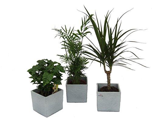 Amazon.de Pflanzenservice Pflanzen Africa Trio, Kaffee-Pflanze, Zimmerpalme und Dracena Marginata mit scheurich Würfel grau 3-er Set, mehrfarbig