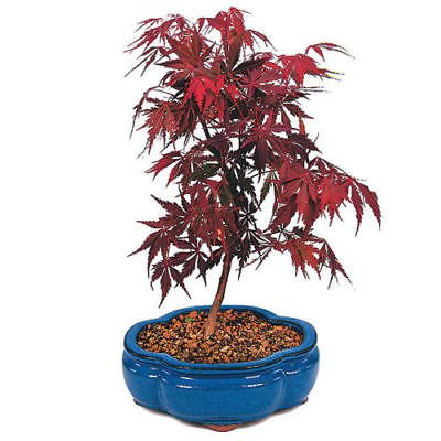 (New Maple, RED Japanese, Or Bonsai Tree, 100 + Seeds !)