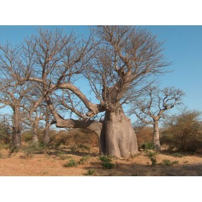 "*Seeds and Things 6 True Adansonia Digitata ""Baobab"" Bottle Tree Seeds -Now Back in Stock- Great for Bonsai or Indoor Container House Plants"