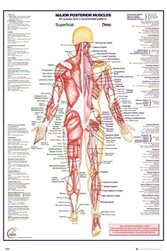 Laminated Human Body Major Posterior Muscles Maxi Poster