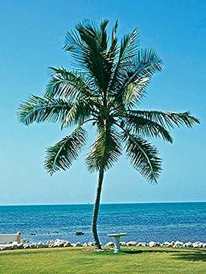 HAWAIIAN COCONUT GREEN @@ coco plant palm tree Cocos nucifera seeds, 1 live SEED