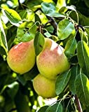 Moonglow Pear Tree - Healthy - Established Fruit Tree - One Gallon Trade Potted - 1 Each by Growers Solution